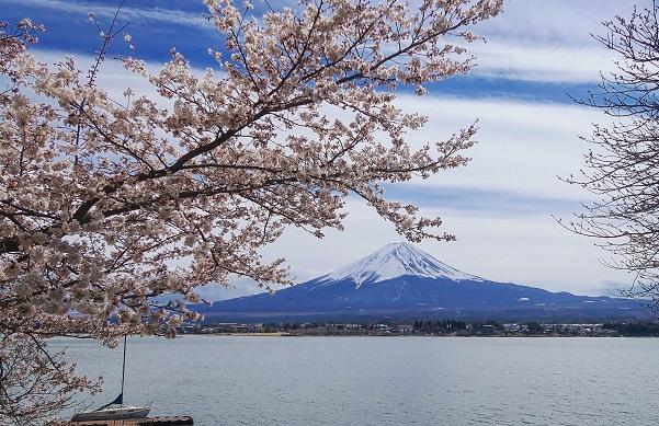Japan's Springtime Phenomenon: The Cherry Blossom Season